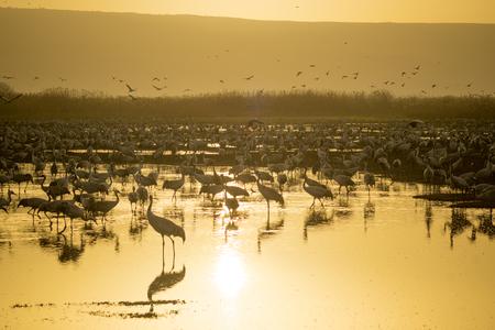 bird of israel: Common crane birds in Agamon Hula bird refuge, at sunrise, Hula Valley, Israel