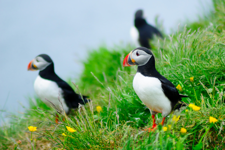 Puffins on a cliff near Bakkagerdi, in the east fjords region, Iceland