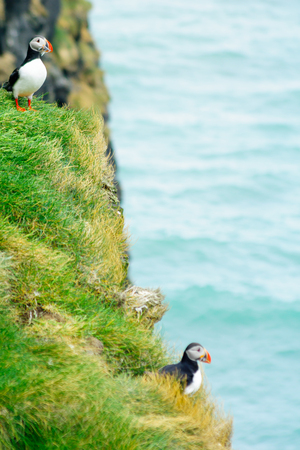 puffin: A puffin holding fish in his mouth, on a cliff, in southeastern Iceland