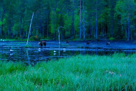 huge tree: Pond with a mother and 3 cubs Brown Bears, in Kuusamo region, Finland