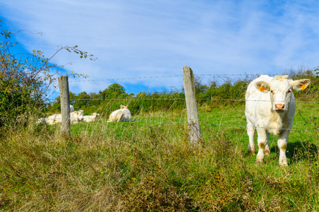 Cows in the countryside of Cote dOr, Burgundy, France