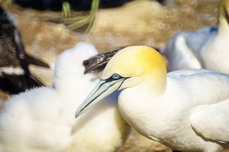 Parent and young Gannet birds in the Bonaventure Island, near Perce, at the tip of Gaspe Peninsula, Quebec, Canada Stock Photo