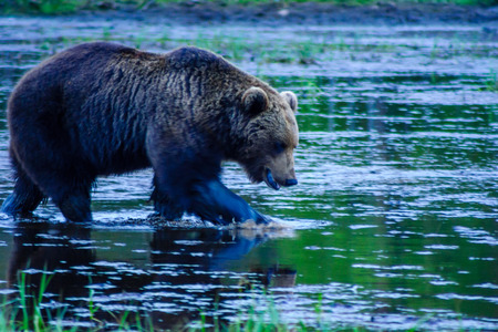 View of a male Brown Bear, in Kuusamo region, Finland Stock Photo