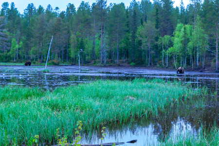 Pond with Brown Bears, in Kuusamo region, Finland Stock Photo