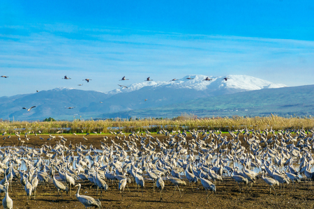 Common Crane birds in the Agamon Hula bird refuge, with Mount Hermon in the background. Hula Valley, Northern Israel