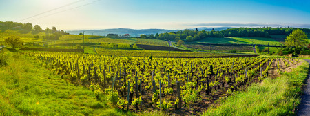 Panoramic landscape view at sunrise of vineyards and countryside in Beaujolais, Rhone department, France