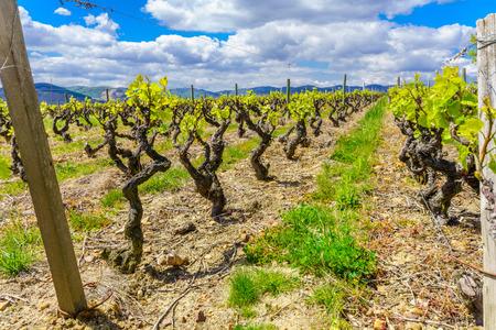 View of a vineyard in Beaujolais, Rhone department, France Banco de Imagens