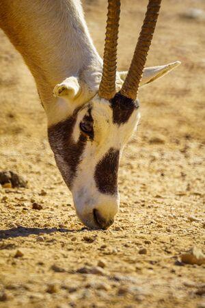 Head portrait of an Arabian oryx, in the Yotvata Hai-Bar Nature Reserve, the Arava desert, southern Israel