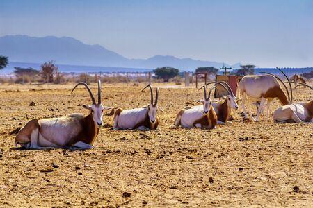 Group of scimitar-horned oryx, in the Yotvata Hai-Bar Nature Reserve, the Arava desert, southern Israel