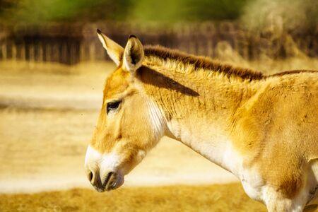 Onager (hemione or Asiatic wild ass), in the Yotvata Hai-Bar Nature Reserve, the Arava desert, southern Israel Reklamní fotografie