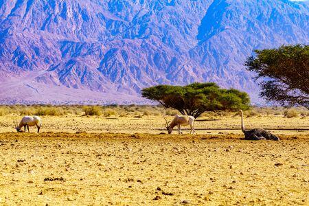 Wildlife (Addax, Arabian oryx, Ostrich) in the Yotvata Hai-Bar Nature Reserve, the Arava desert, southern Israel Reklamní fotografie