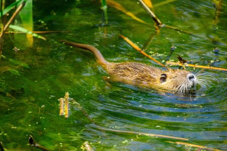 View of a young Coypu (nutria), in the Hula Nature Reserve, Northern Israel