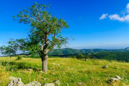 View of an oak tree and landscape on Mount Meron, the upper Galilee. Northern Israel