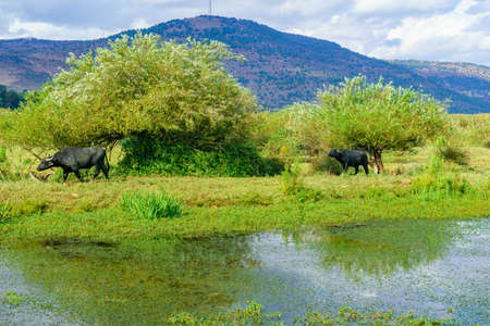 View of wetland and Asian Water Buffalo (Bubalus bubalis), in the Hula nature reserve, northern Israel