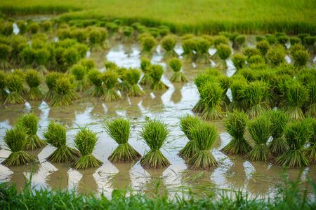 Rice seedlings, Agriculture in rice fields Stock Photo