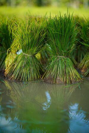 Rice seedlings, Agriculture in rice fields Zdjęcie Seryjne