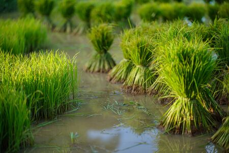 Rice seedlings, Agriculture in rice fields Banco de Imagens