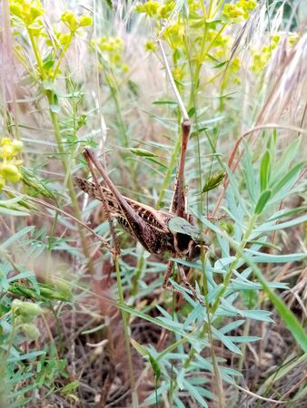large steppe grasshopper, locust sits in the grass. Agricultural pests. Macro shot. Spring plants and insects Banco de Imagens