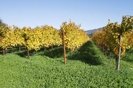 grape field: Vineyard Stock Photo