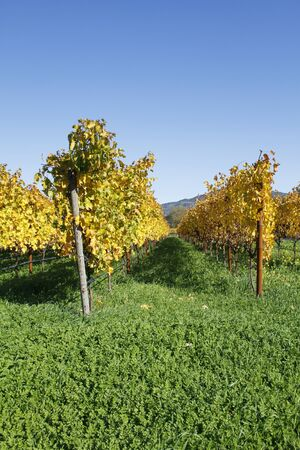 trellis: Vineyard Stock Photo
