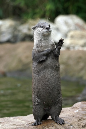 An otter in a waving pose Stock Photo