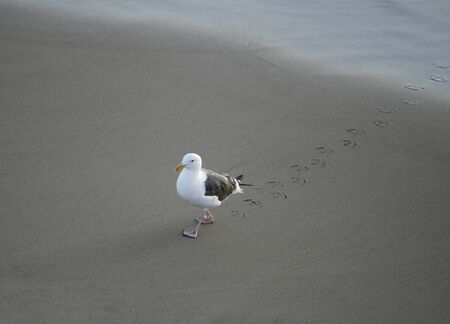 A seagull strolling on a beach leaving footprints in the sand photo