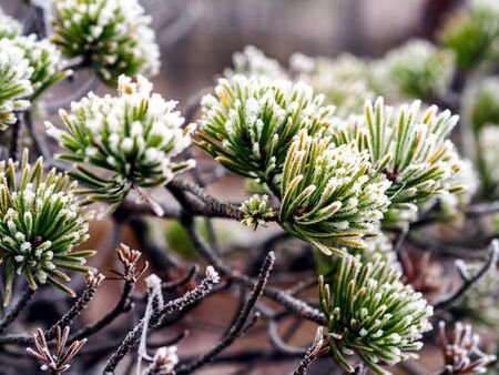 Closeup of Pine Tree Branch in Field of Kemeri moor in Latvia on a Cold Winter Morning with some Frost on them