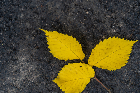 Closeup of Three Yellow Ordinary Aspen Leaves Isolated on Black Pavement Background, Abstract Background with Space for Text