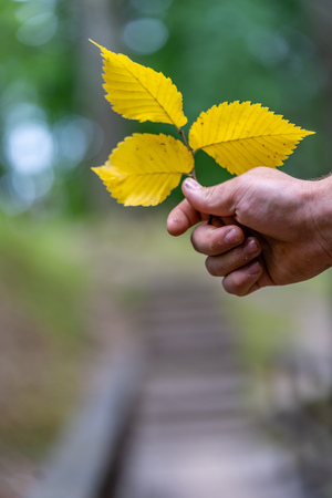 Closeup of Hand Holding Three Yellow Ordinary Aspen Leaves Isolated from Background, Abstract Background with Space for Text, Concept of Correlation Between Humanity and Nature