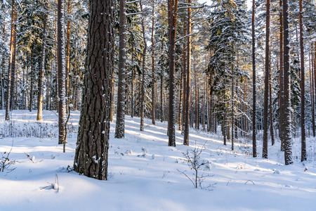 Sunny Winter Day in Pine Tree Forest, Abstract Background, Concept of Peace and Harmony in Countryside Standard-Bild