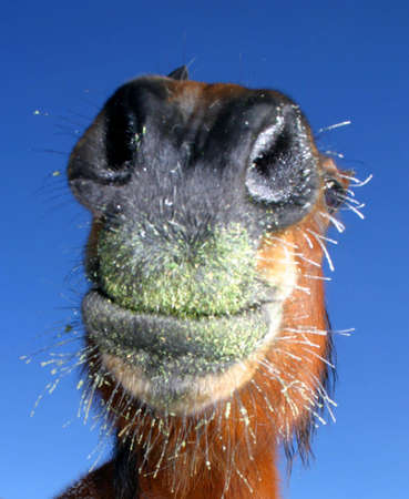 Horse smiling on cold morning Stock Photo