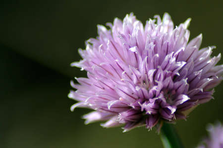 Chive