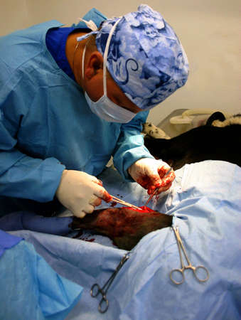 Veterinarian performing surgery Stock Photo