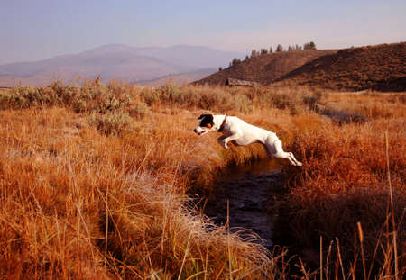 Jack Russel Terrier creek jumping Stock Photo