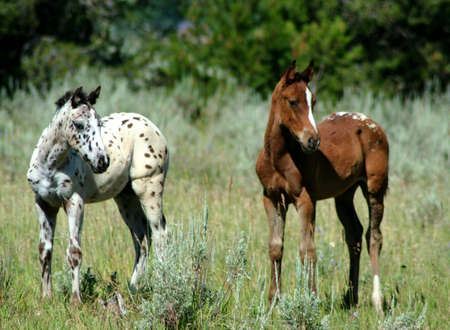 Appaloosa Colts