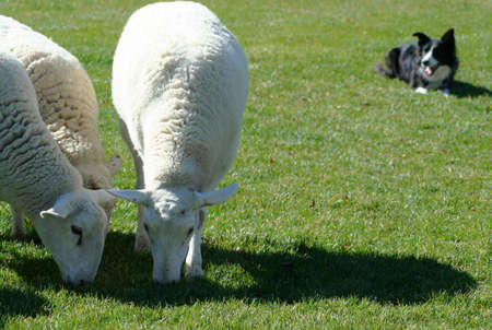 Border Collie working sheep in local exihibtion