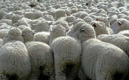 Grote kudde schapen naar het zuiden voor de winter grasland