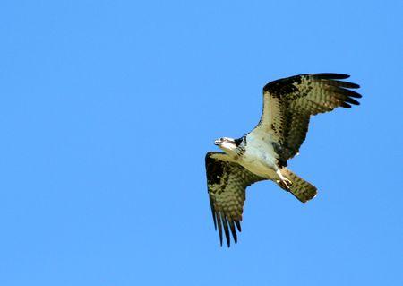 osprey: Osprey Flying
