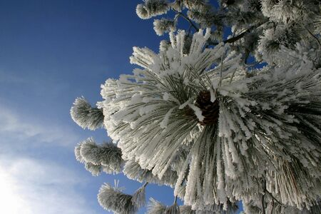 hoar frost: Pine cones covered in hoar frost,winter,christmas