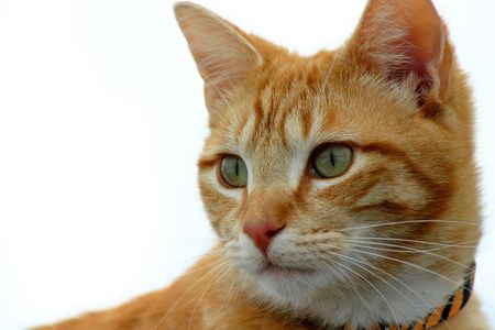 Yellow tabby cat viewing prey from high point Stock Photo