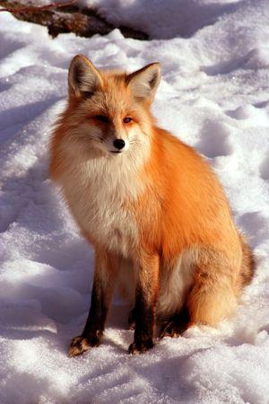 volpe rossa: Red Fox posa e il sole sulla fredda giornata invernale