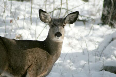 white tail deer: White tail deer moving through winter forest Stock Photo