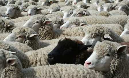 wooly: Large herd of sheep heading south for winter pasture