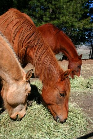 Horses feeding on hay on Idaho ranch photo