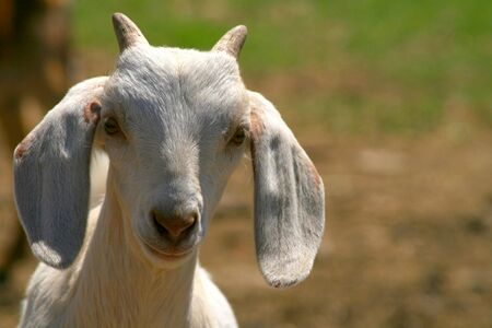 caprine: Nubian Goat Kid With Horns Stock Photo