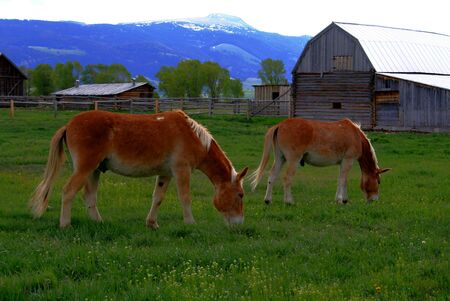 Draft horses used by the national park service, Grand Teton National Park, Wyoming Stock Photo - 968899