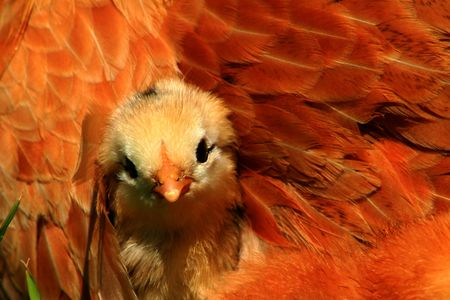 Aracauna chick peeking out from underneath mom,chicken