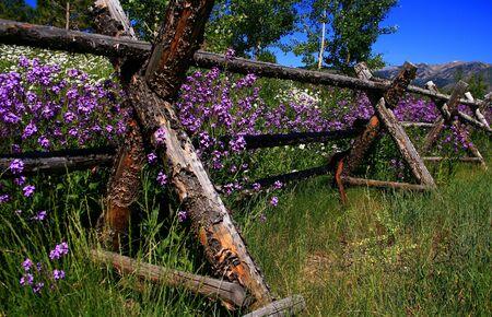 Rustic fence holding back spring wildflowers, Ketchum Idaho