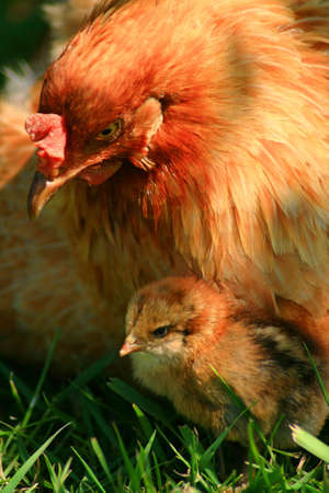 Araucana hen and chick getting sun in the grass