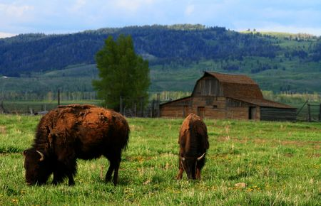 Buffalo grazing in Grand Teton National Park, Wyoming
